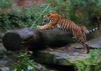 Aleeee Hopp.......... Tiger