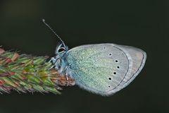 Alexis-Bläuling (Glaucopsyche alexis)*! - Un mini-papillon qui habite en montagne...