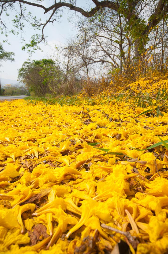 Alfombra de flores de Araguaney