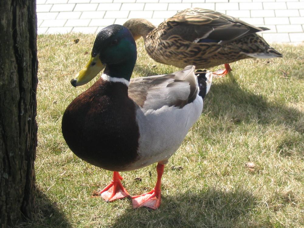 Alfred, die Ente