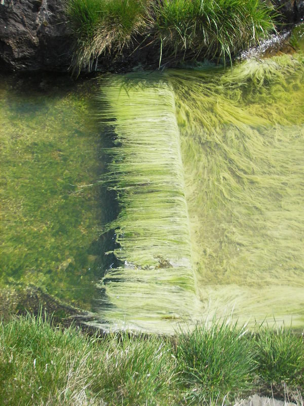 Alga ir Eschi (Algen in der Esche, FL)