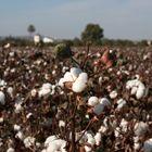 algodón, cortijo y palmera