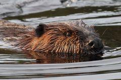 Algonquin beaver encounter