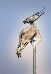 Alien Nature 5 - Gongylus gongylodes