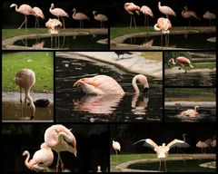 All about flamingos