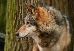 Aller guten Wölfe sind drei...