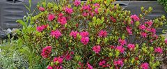 Alles Alpenrose aus den Westalpen und über 90% der Blüten im Bild...