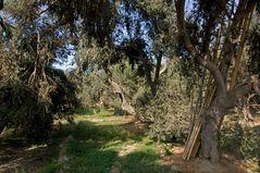 Alles Oliven