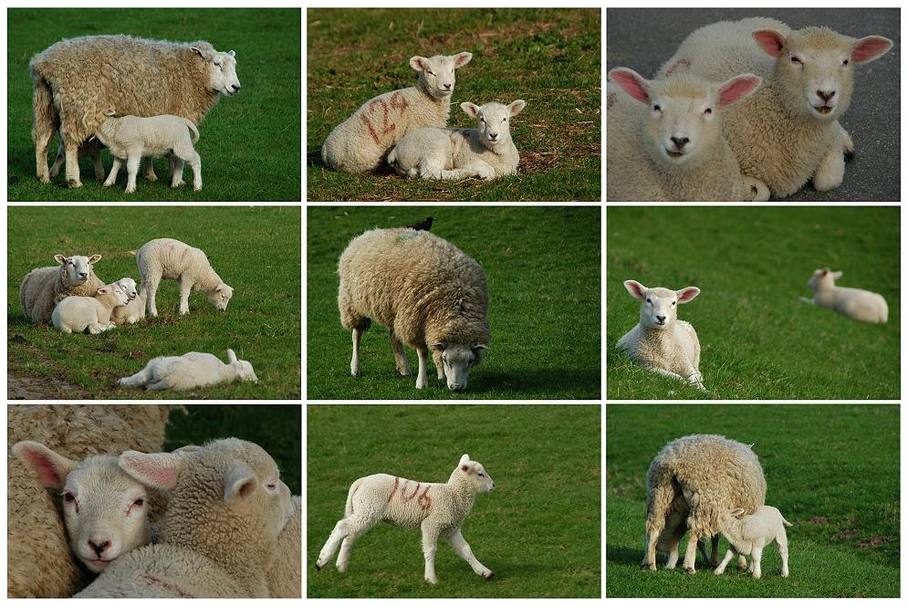 Alles Schaf