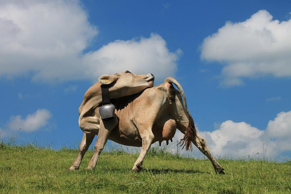 Allgäuer Yoga-Kuh