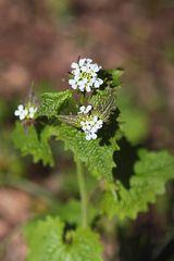 Alliaria petiolata - Knoblauchsrauke
