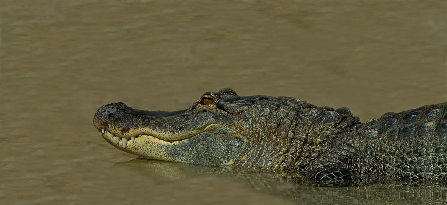 Alligator im Loro Park_Teneriffa,