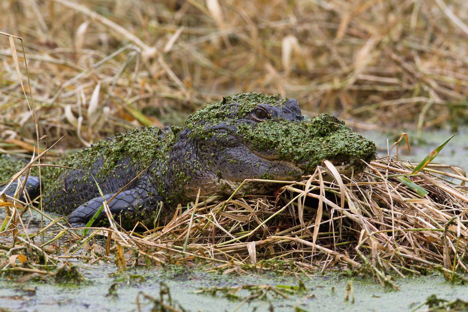 Alligator in Camouflage