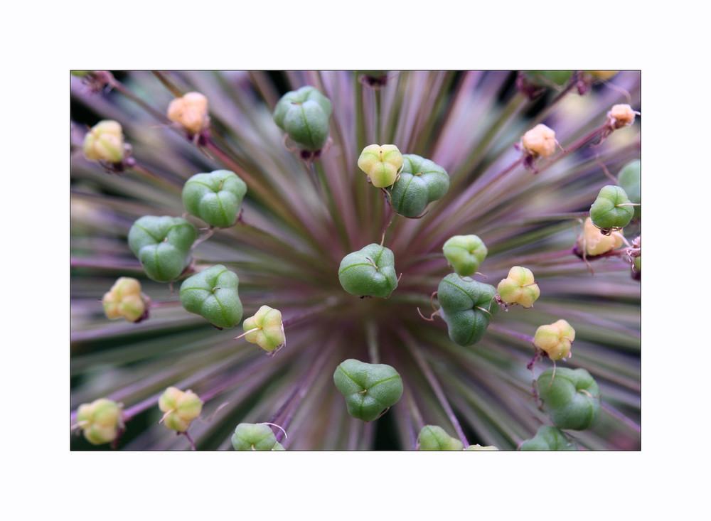 Allium altissimum
