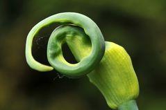 Allium cepa var. Viviparium
