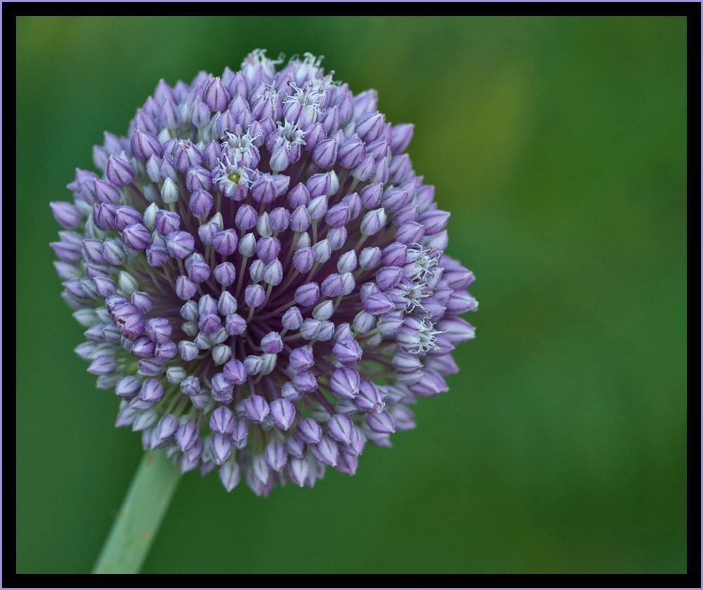 Allium hierochuntinum