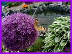 Allium-Purple Sensation