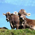 Alm Kühe auf der Alm im Allgäu