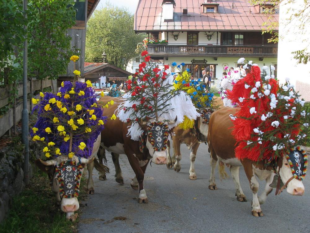 """Almabtrieb"" 2009, Kelchsau, Tirol"