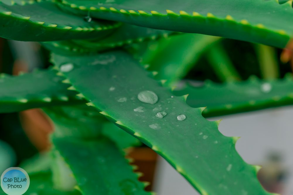 Aloe Vera im Kakteenland Steinfeld
