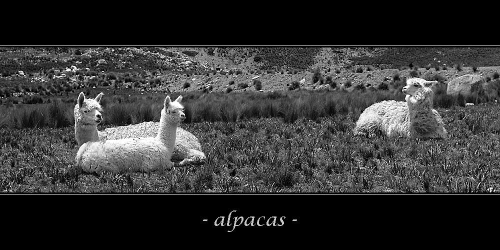 - alpacas -