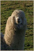 alpacas at sharperton Northumberland 1