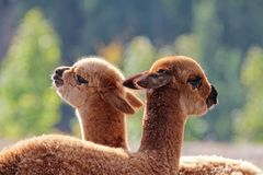•Alpaka-Fohlen