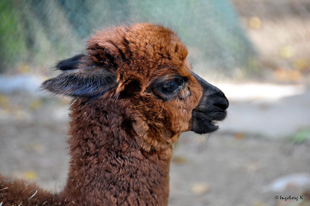 Alpaka-Junges