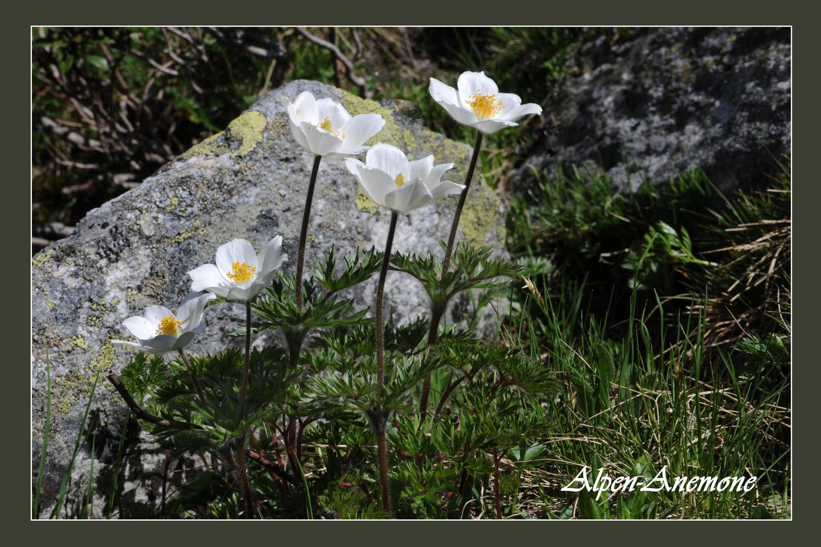 Alpen-Anemone