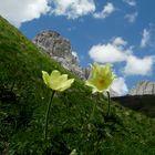 Alpen Anemone