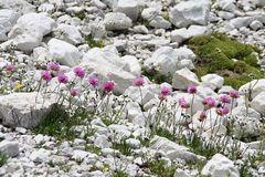 Alpen-Grasnelke (Armeria alpina)...