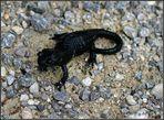 Alpen Salamander