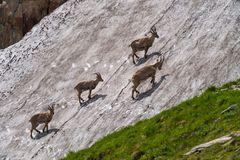 Alpen Steinböcke