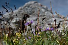 Alpenastern im natürlichen Umfeld