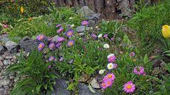 Alpenastern in drei Farben blühen zur selben Zeit auf dem Fotostandort...