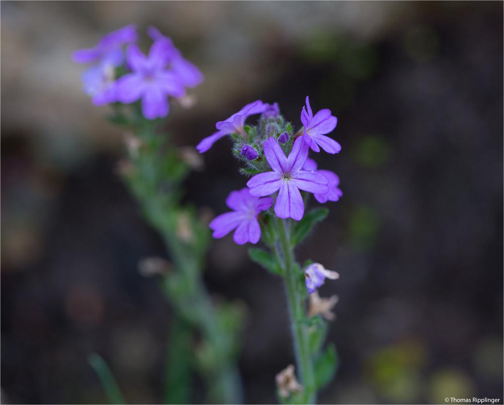 Alpenbalsam (Erinus alpinus).