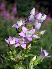 Alpenblume II
