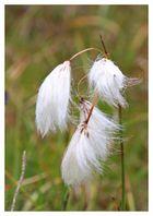 Alpenblumen (2)