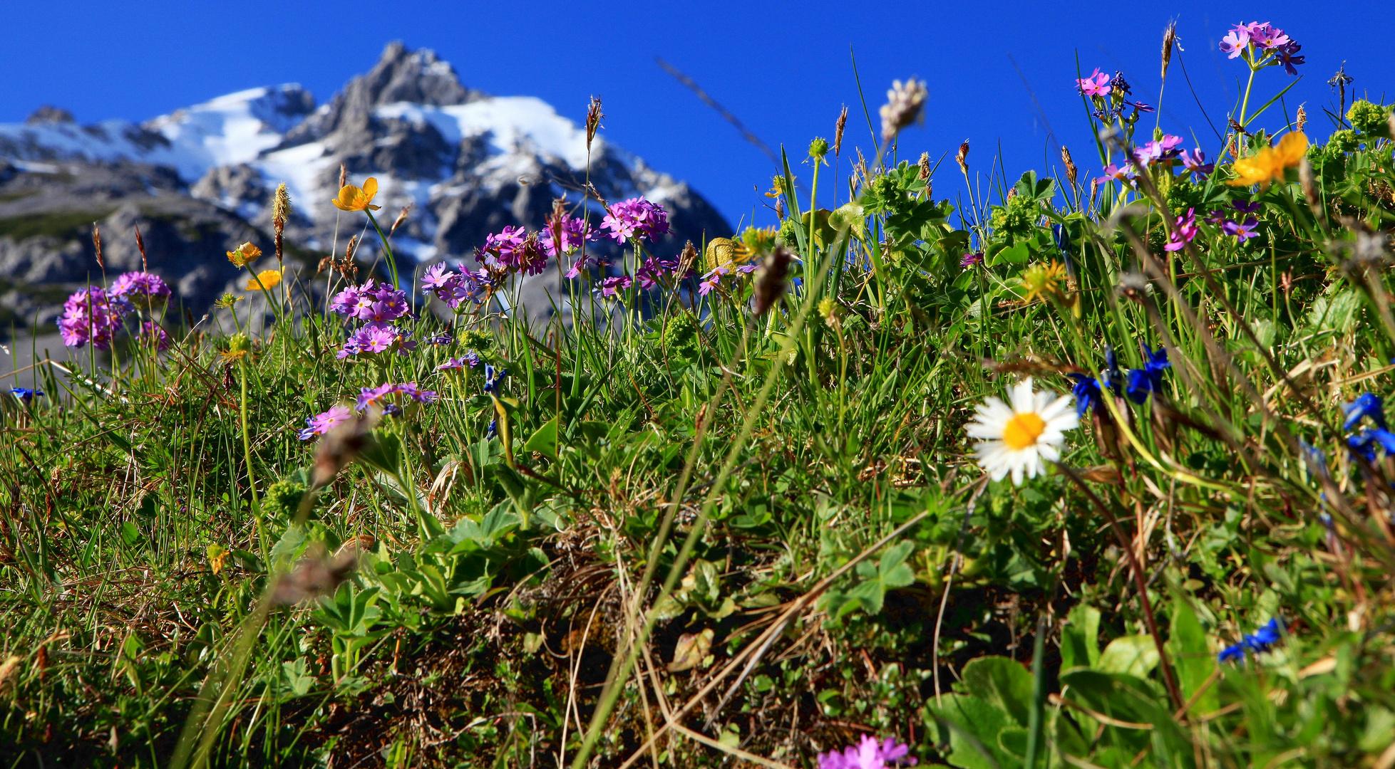 alpenblumen foto bild pflanzen pilze flechten natur natur bilder auf fotocommunity. Black Bedroom Furniture Sets. Home Design Ideas