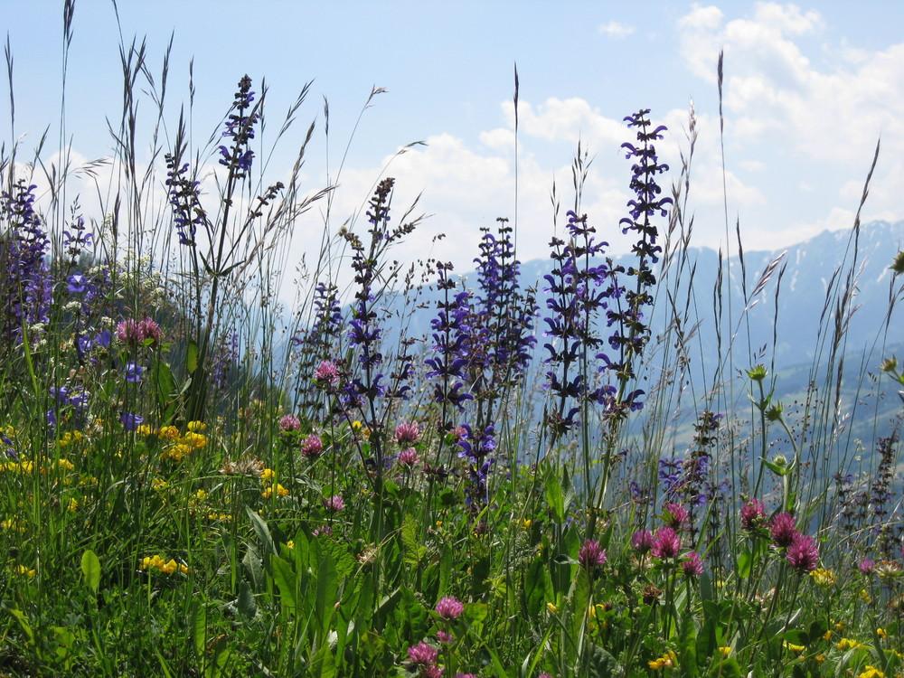 Alpenblumen II