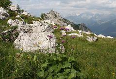 Alpendost (Adenostyles alliariae) beim Aufstieg durchs Val Valessinella....