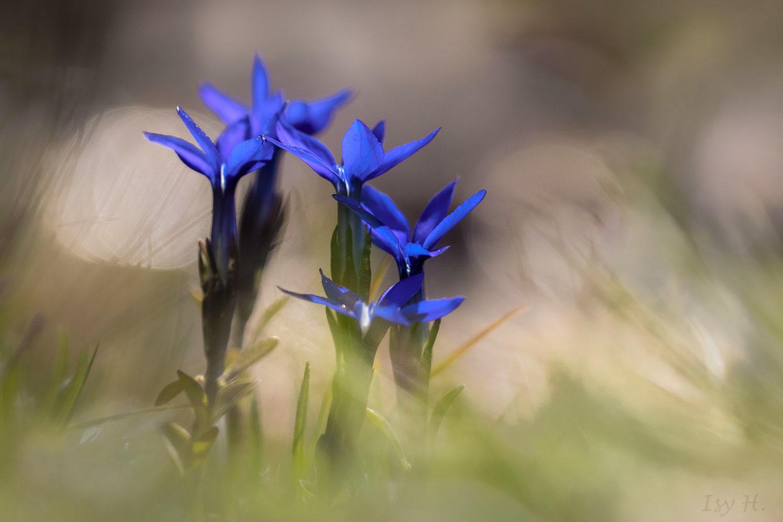 Alpenflora - kleiner Enzian