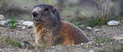 Alpenmurmeltier - Marmota marmota  wild live...