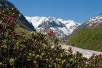 Alpenrose mit Urkundkopf