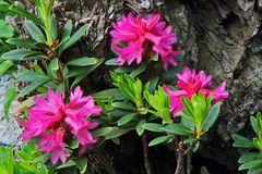 Alpenrose -Rhododendron feruginaeum
