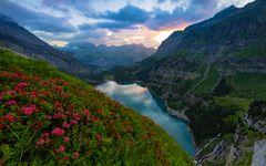 Alpenrosen - Oeschinensee