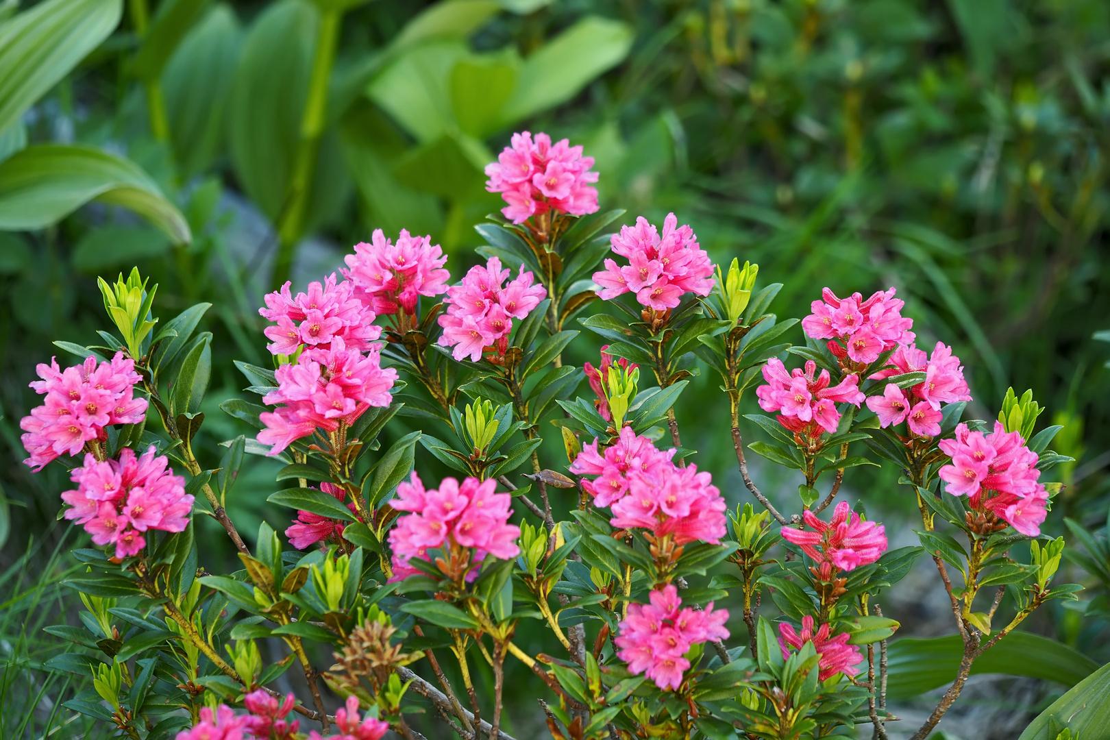 Alpenrosen-Pracht (Rhododendron ferrugineum)! - Les rhododendrons sont en fleurs à la montagne!