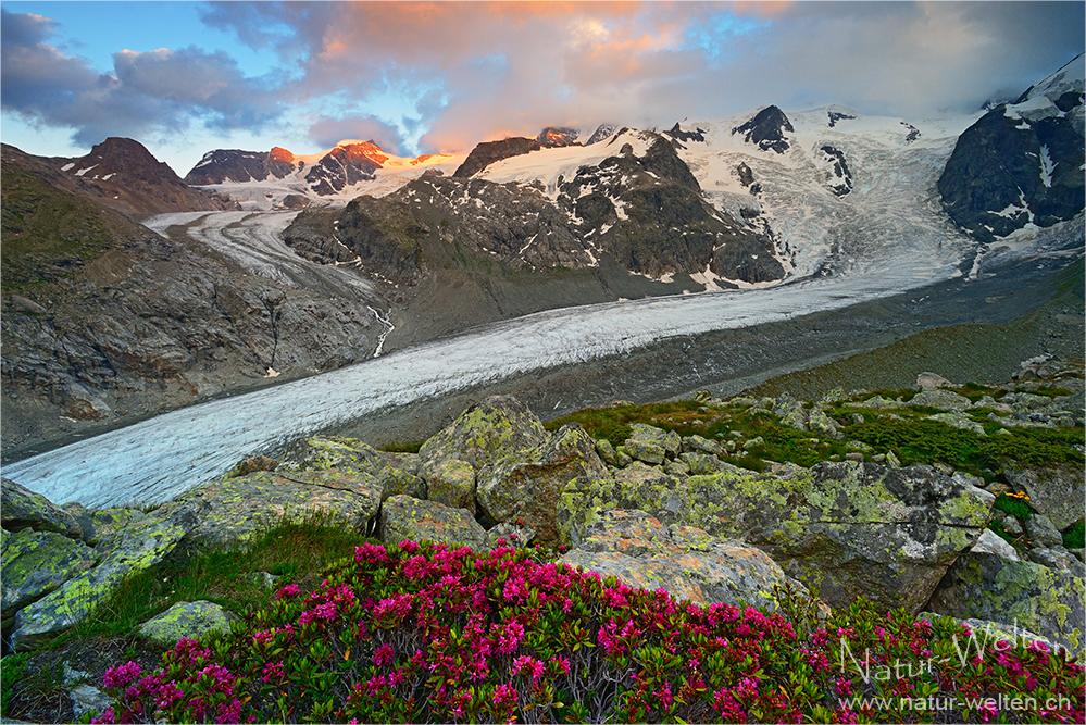 Alpenrosen und Abendlicht
