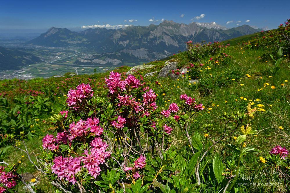 Alpenrosenaussicht