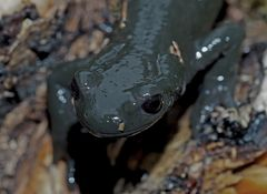 Alpensalamander-Porträt (Salamandra atra) - La salamandre alpestre!